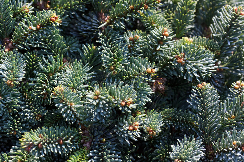 Download Pine Cones Hanging From The Branches Of An Evergre Stock Image - Image: 10500609