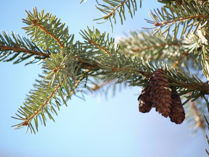Pine cones in tree