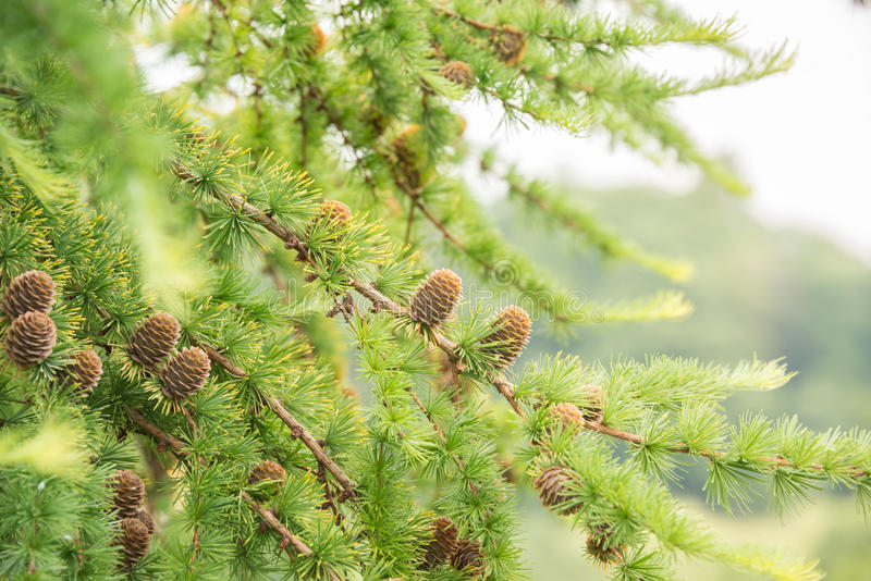 Pine Cones Of A Larch Tree Close Up Stock Photo