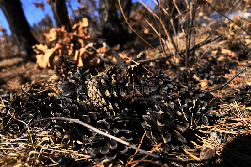Pine cones lying on the ground royalty free stock photo