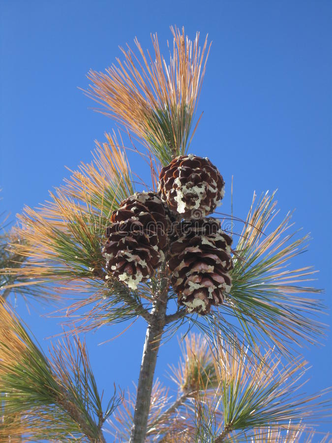 Pine cones and needles against a bright blue sky royalty free stock image