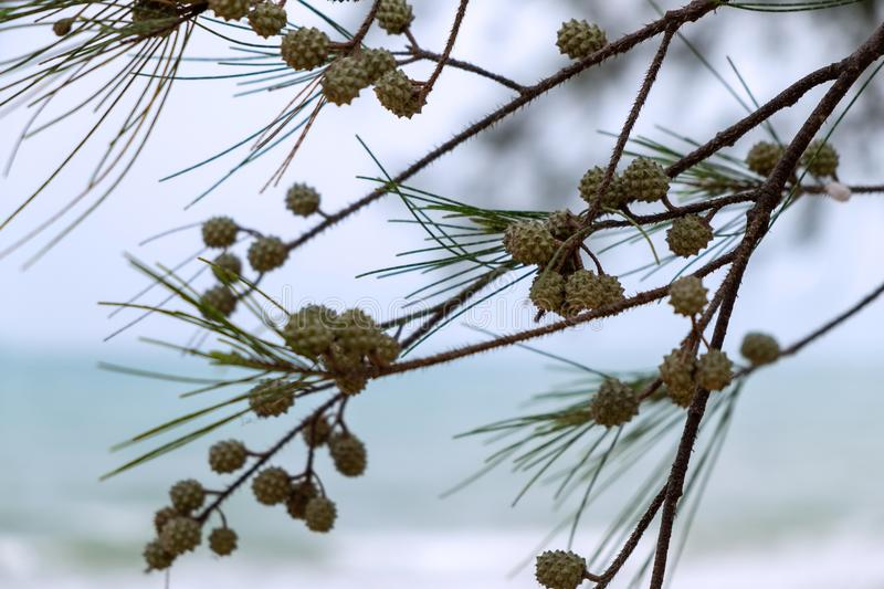 Pine Cones and Pine Needle Leaves on the Pine Tree. royalty free stock photo