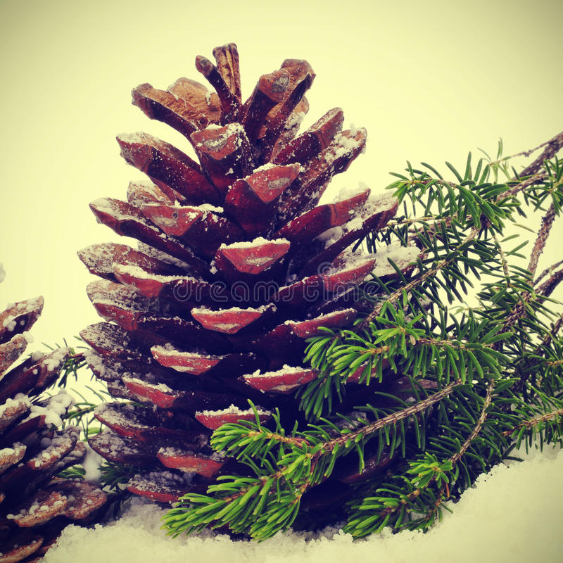 Download Pine cones on the snow stock photo. Image of botany, ornamental - 27204008