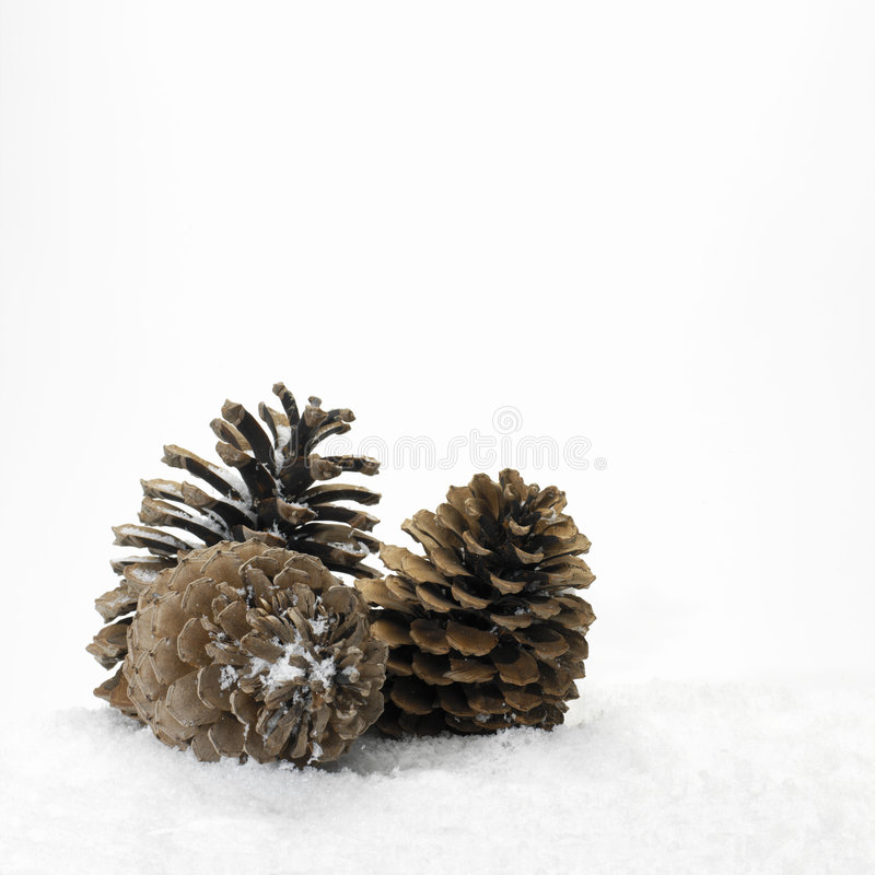 Download Pine cones in the snow stock photo. Image of flora, forest - 870386