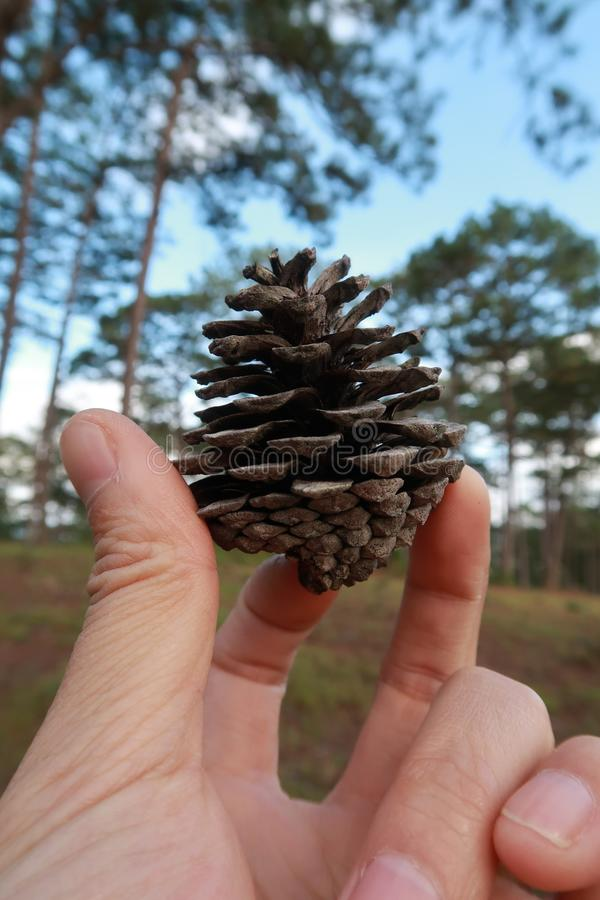 Pine cones taken by macro in the forest at morning part 2 royalty free stock photo