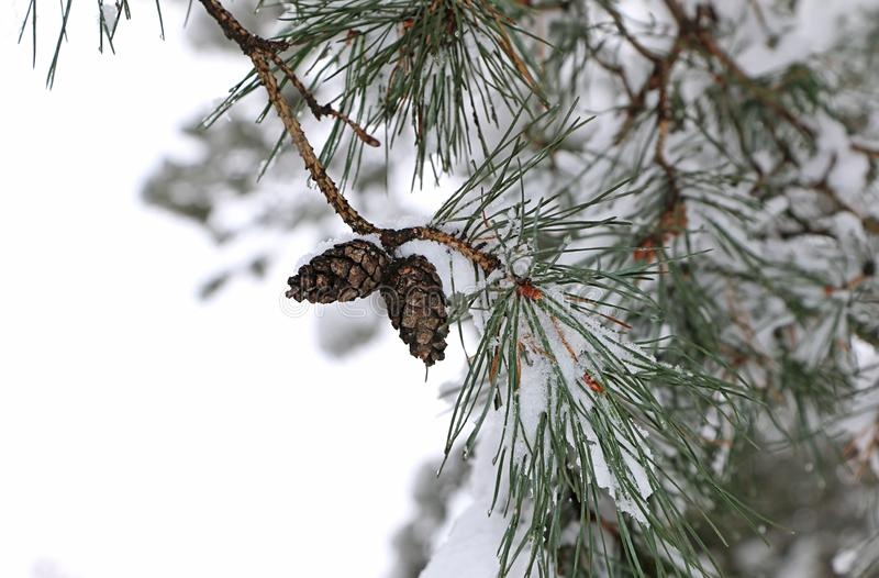 Pine cones in winter. royalty free stock photo