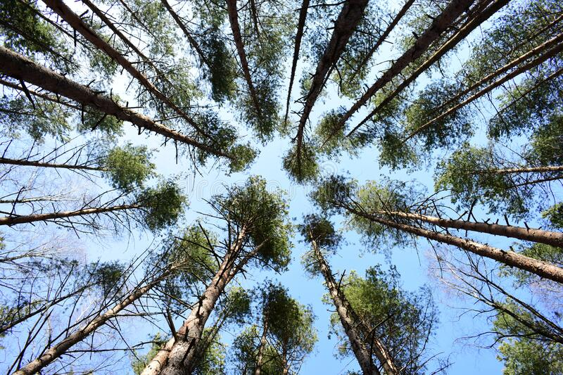 Pine coniferous forest, high crowns are directed to the sky. Straight, even trees in the array. Forest. In the sun stock photo