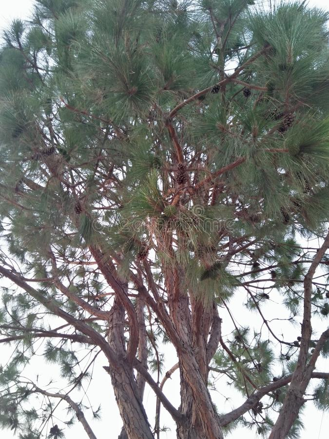 PINE /PINE LODGEPOLE. A PINE IS A CONIFEROUS TREE IN THE GENUS PINUS,THE FAMILY; PINACEAE, THERE ARE . PINE IS A EVERGREEN RESINOUS TREE RARELY SHRUB .THE royalty free stock photo