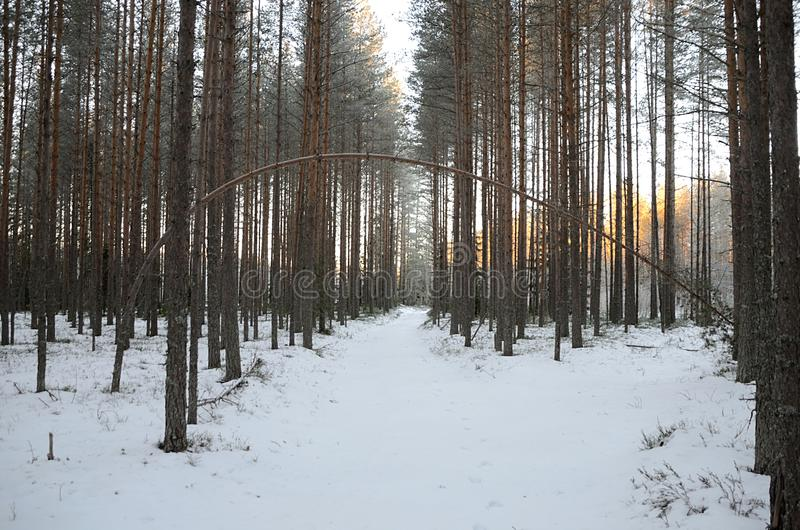 Pine curves. Pine arc over the path in wintery forest stock images