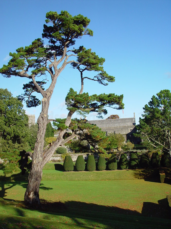 A pine in Dartington Hall stock photography
