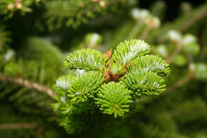Pine förgrena sig med kottar royaltyfria foton