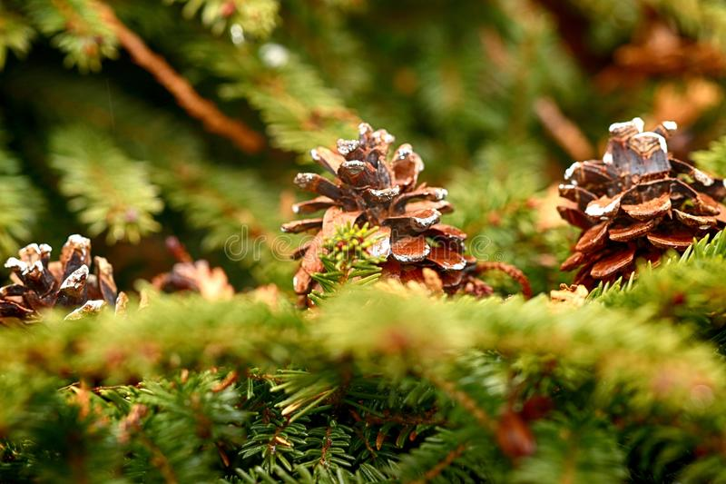 Pine Family, Tree, Branch, Close Up stock image