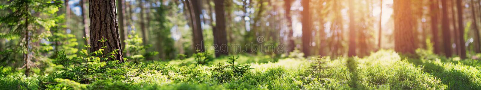 Pine and fir forest panorama royalty free stock image