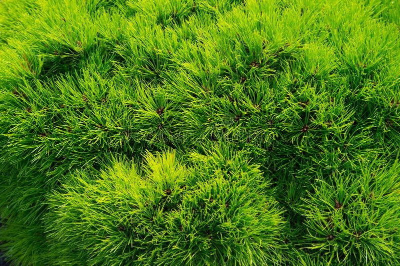 Pine fir tree needles as green background. Christmas tree branches. Evergreen forest or wood. Nature and environment stock image