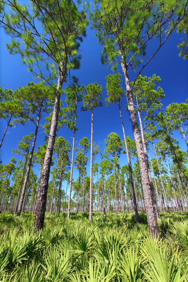 Pine Flatwoods - Florida royalty free stock photography