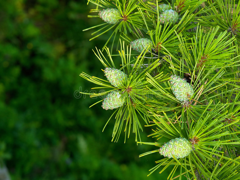Download Pine floral background stock photo. Image of berries, evergreen - 2320202
