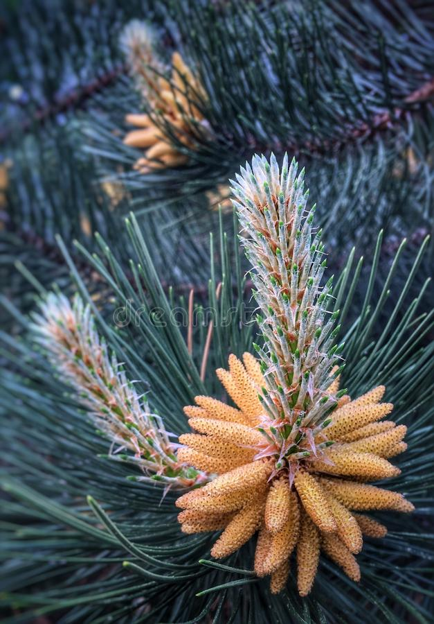 Pine flower. Blooms royalty free stock images
