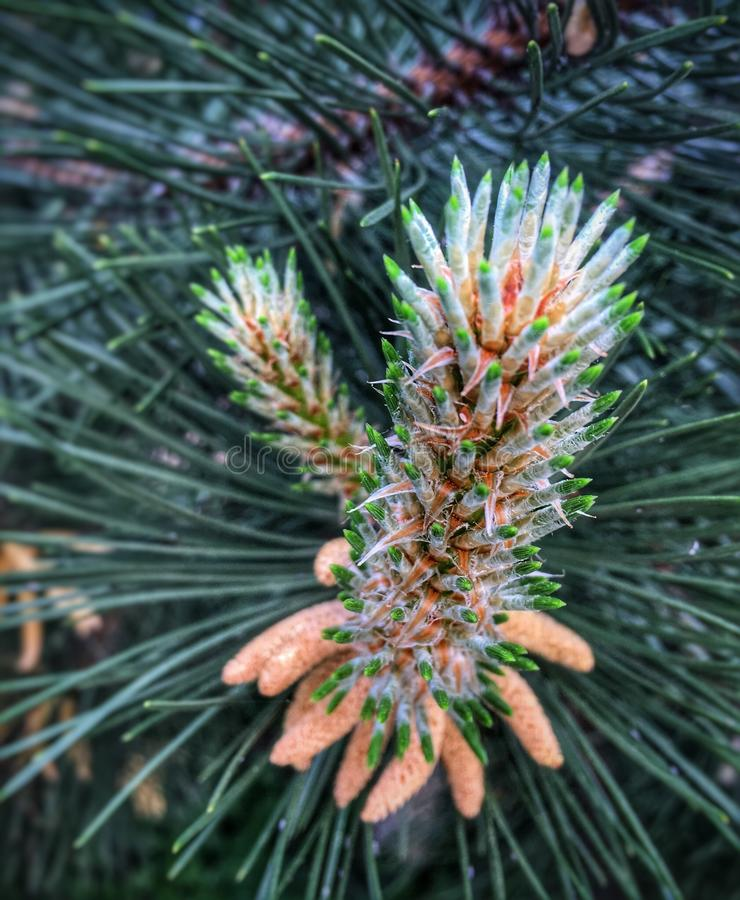 Pine flower. Blooms royalty free stock image