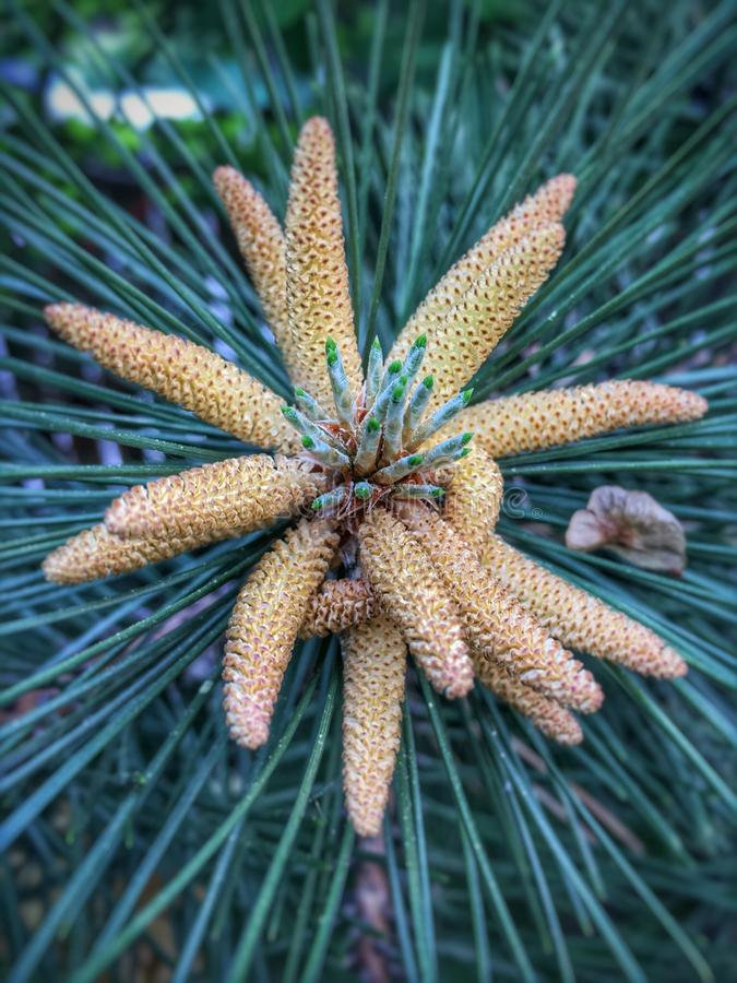 Pine flower. Blooms stock images