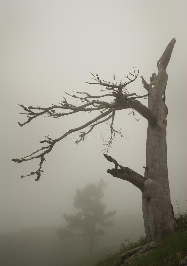 Pine and fog stock photo