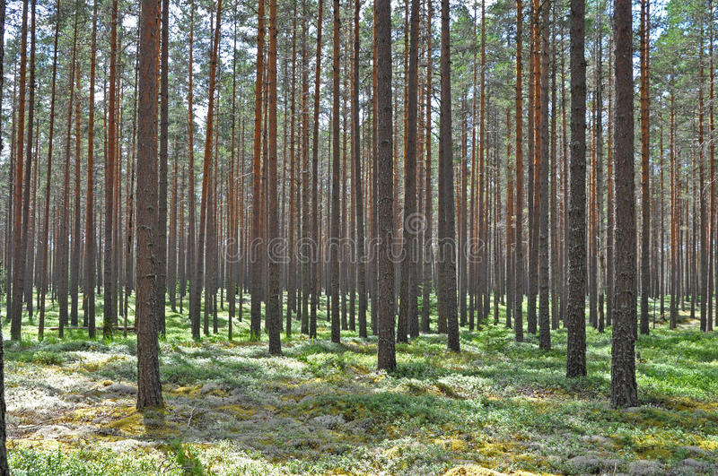 Download Pine forest stock image. Image of nature, forest, moss - 10307849