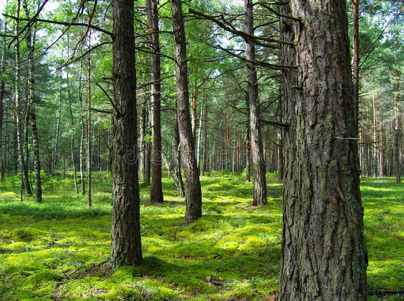 Pine forest. stock photo