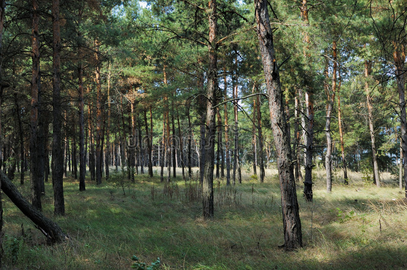 Pine forest stock images