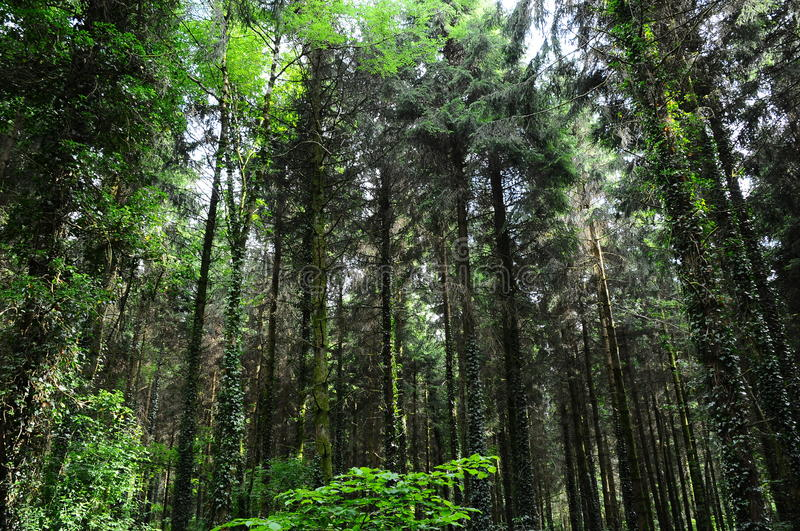 Pine forest. Tall pine trees growing in a forestry area stock photography