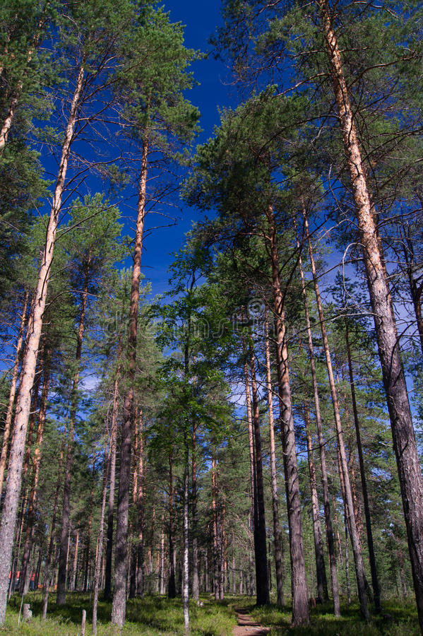 Download Pine forest stock photo. Image of trunk, forest, trees - 26444846