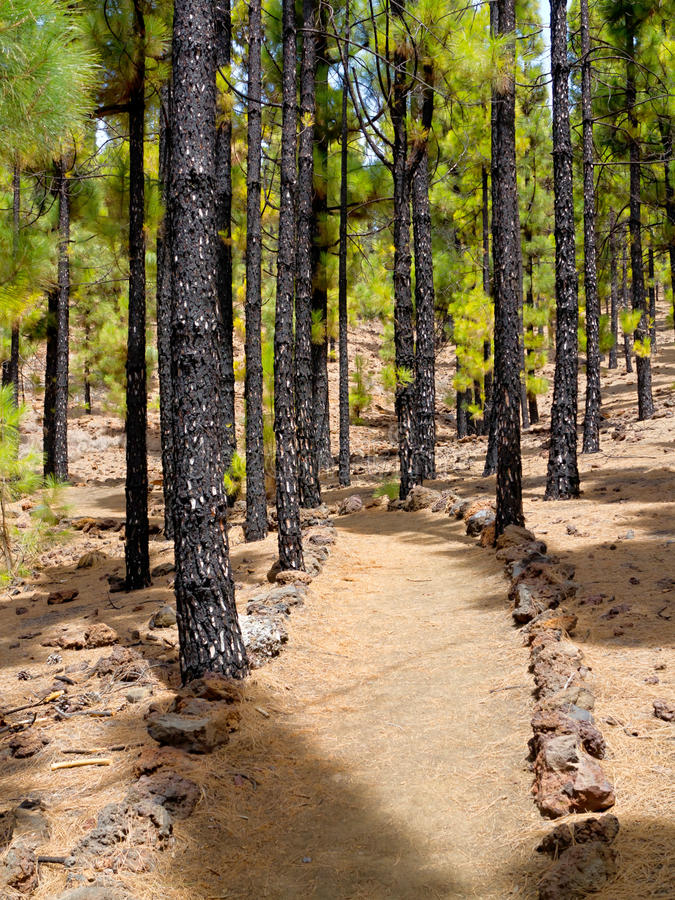 Pine forest. Path in the pine forest stock images