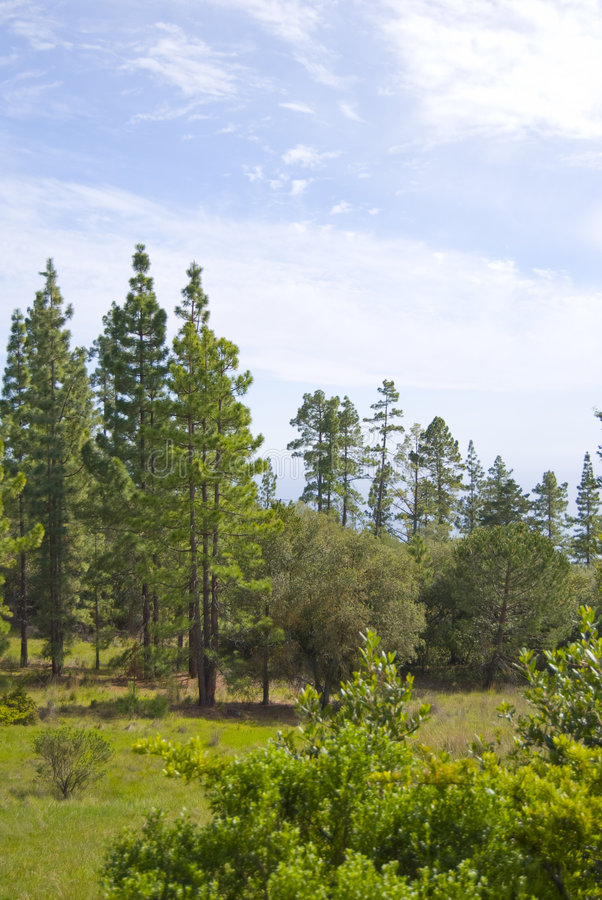 Download Pine forest stock photo. Image of blue, branch, needles - 4805914