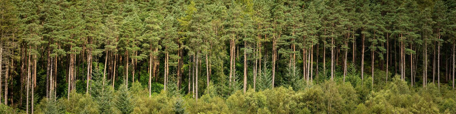 Pine forest on the bonnie banks of Loch Lomond royalty free stock image
