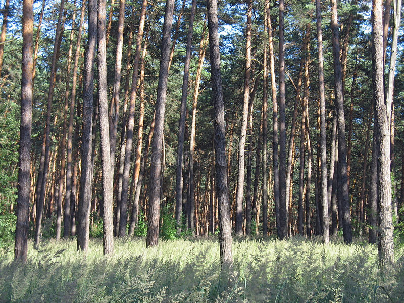 Pine forest in a bright sunny summer day royalty free stock photo