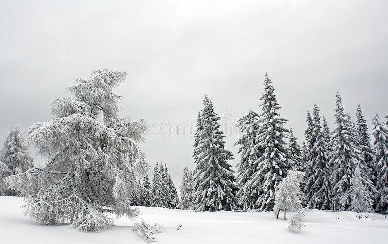 Download Pine Forest Covered With Snow Stock Photo - Image: 7933918