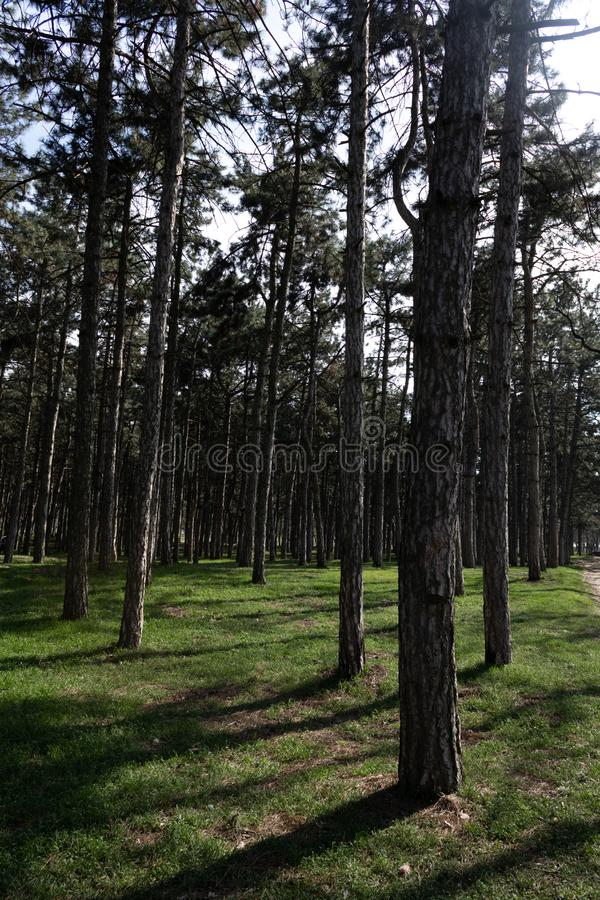 Pine forest with densely growing trees in spring on a sunny day.  stock images