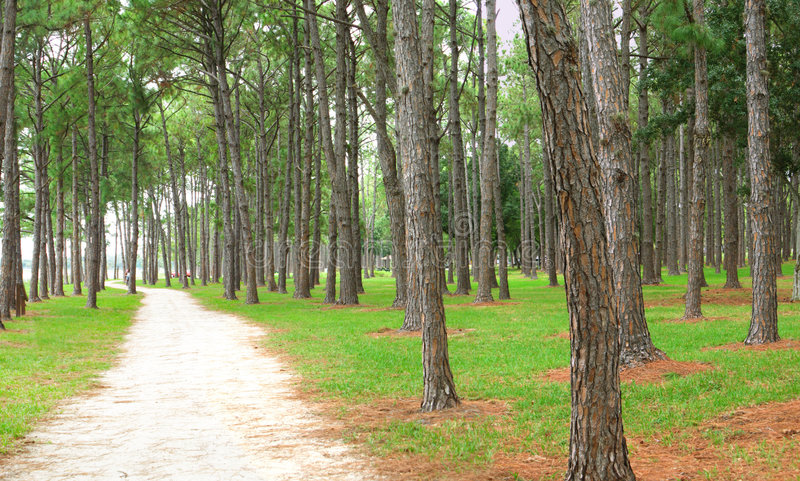 Pine forest and dirt path stock photos