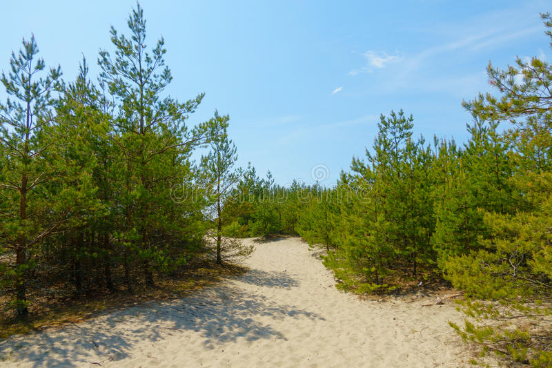 Pine forest on the dunes stock photo