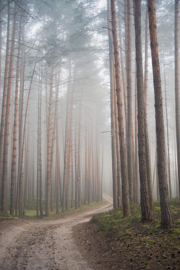 Pine forest in the early morning. The path in the pine forest in the morning fog royalty free stock photos