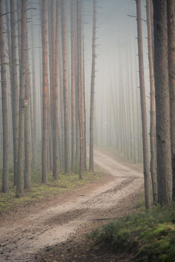 Pine forest in the early morning. The path in the pine forest in the morning fog royalty free stock photo