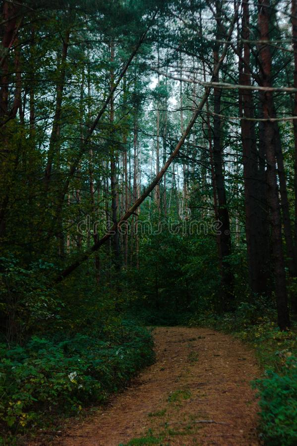 Pine forest with falling three above dirt path. In autumn royalty free stock photos