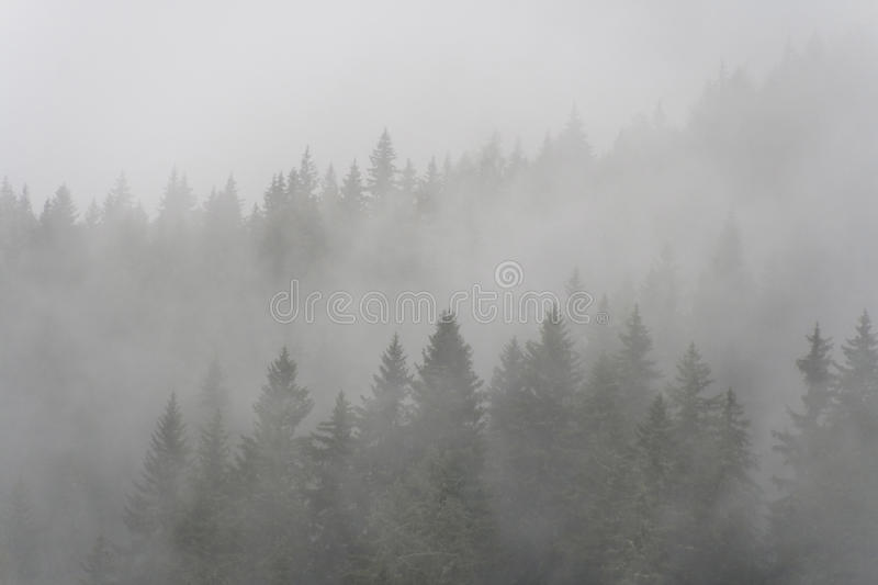 Download Pine Forest In The Fog Royalty Free Stock Photography - Image: 26116197