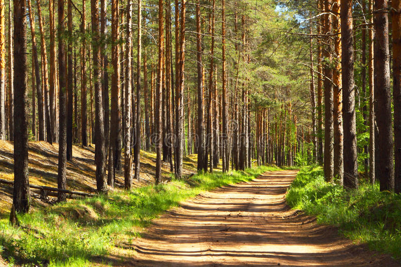 Pine forest.Forest road. Summer landscape of pine forest on a sunny day royalty free stock image