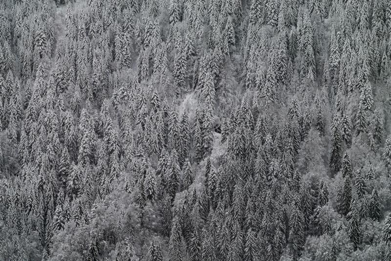 Pine forest in the French Alps after heavy snowfall. Pine forest in the mountains of the French Alps after heavy snowfall. Background of snow covered pine trees stock photography
