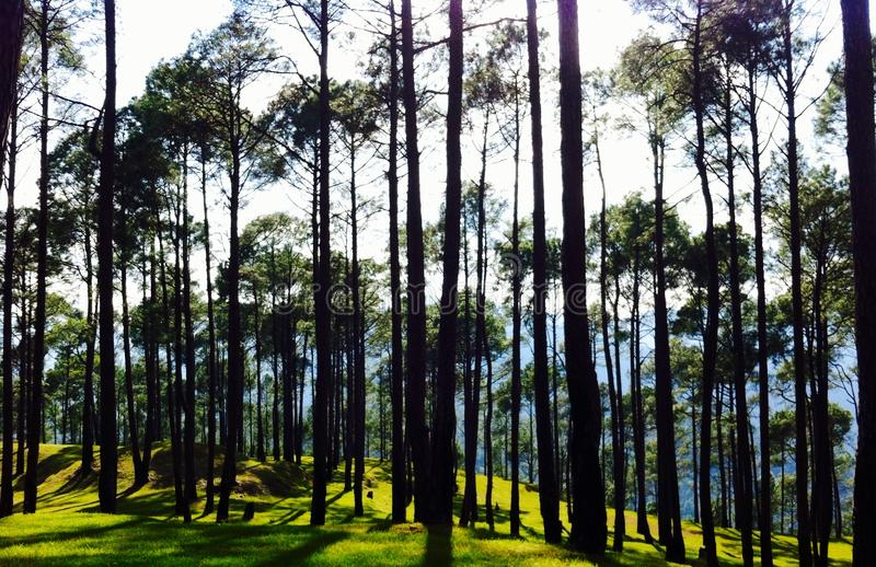 Pine forest green grass royalty free stock photography