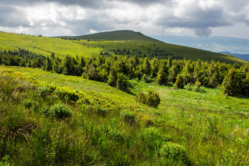 Pine forest on a hill royalty free stock photos