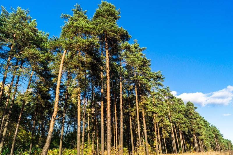 Pine forest, illuminated by the rays of the autumn sun stock image