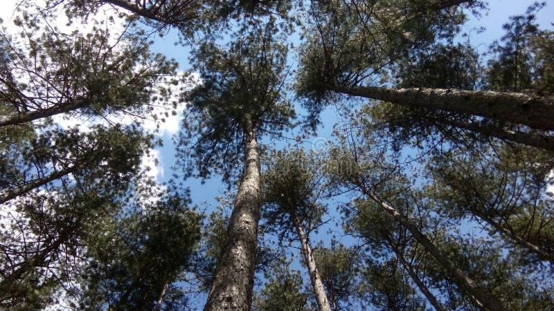 Pine forest Krushino stock photo