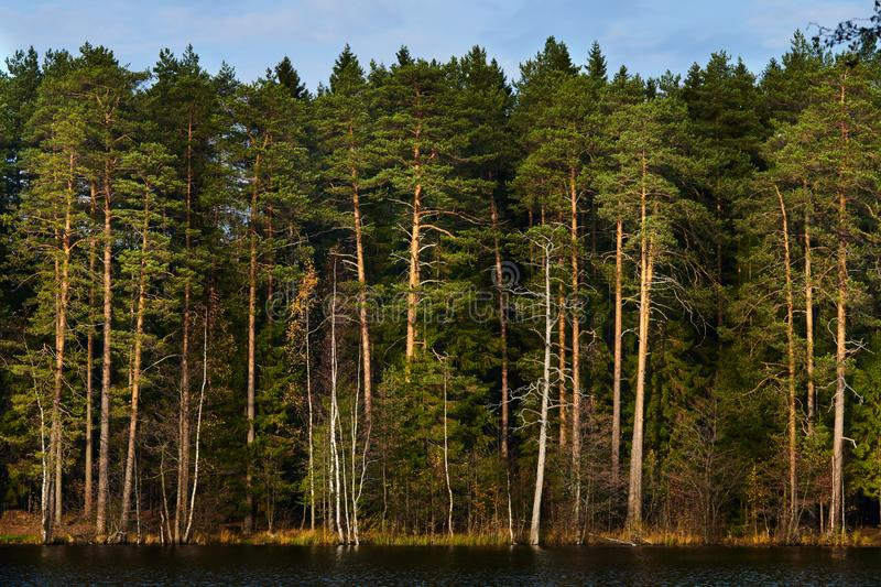 Pine forest on the lake royalty free stock photography