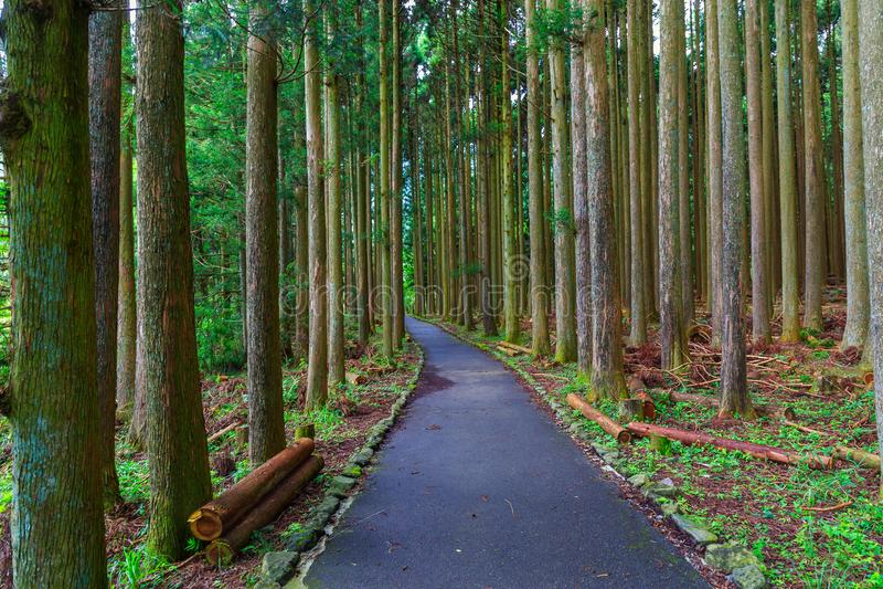Pine forest in lake tanuki at fujinomoya , japan. Pine forest in lake tanuki at fujinomoya in japan royalty free stock photo
