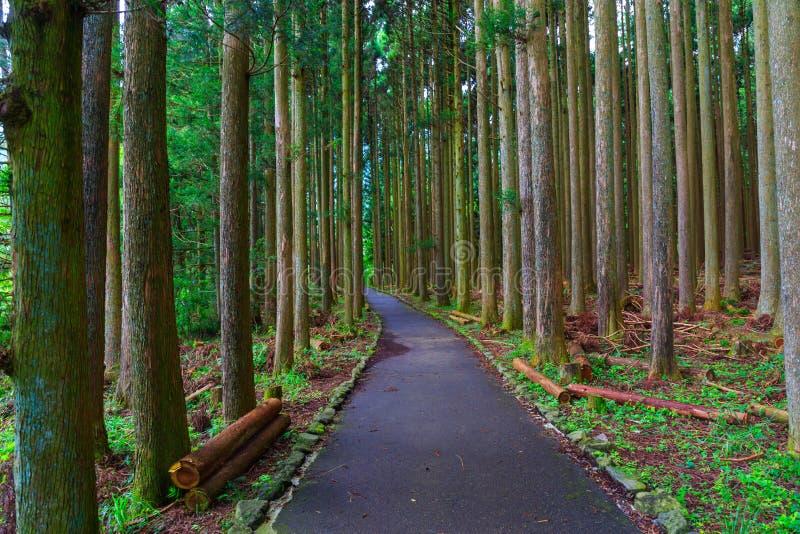 Pine forest in lake tanuki at fujinomoya , japan. Pine forest in lake tanuki at fujinomoya in japan stock photos